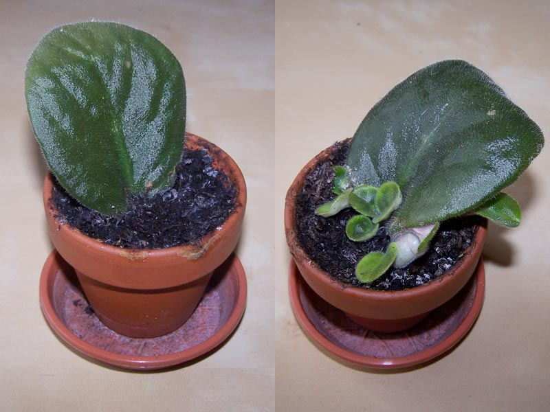 African Violet cuttings