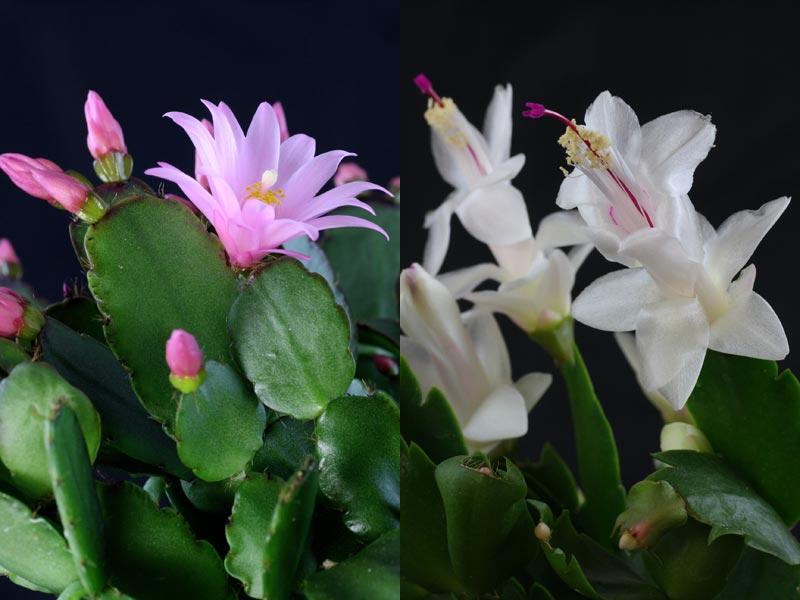 Christmas Flowering Plants