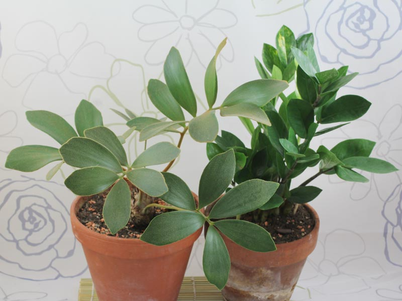 ovata jade plant as well indoor plants that don 39 t need sunlight