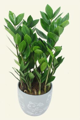 Zamioculcas zamiifolia aroid palm for Indoor plant maintenance