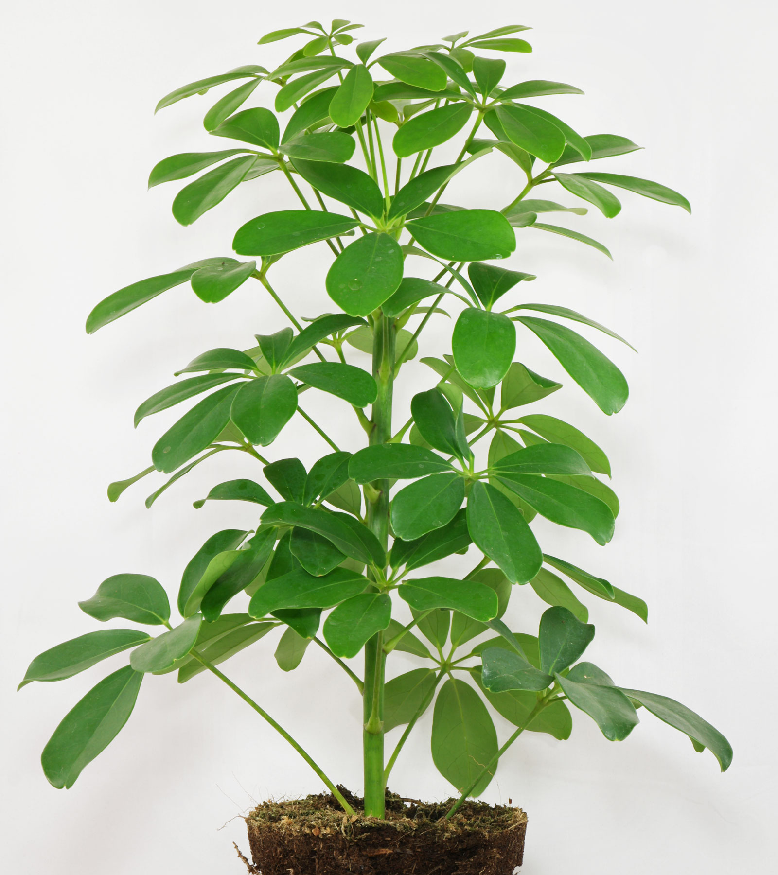 У шефлеры опадают листья: причины. Шефлера сбрасывает листья, что делать? 67