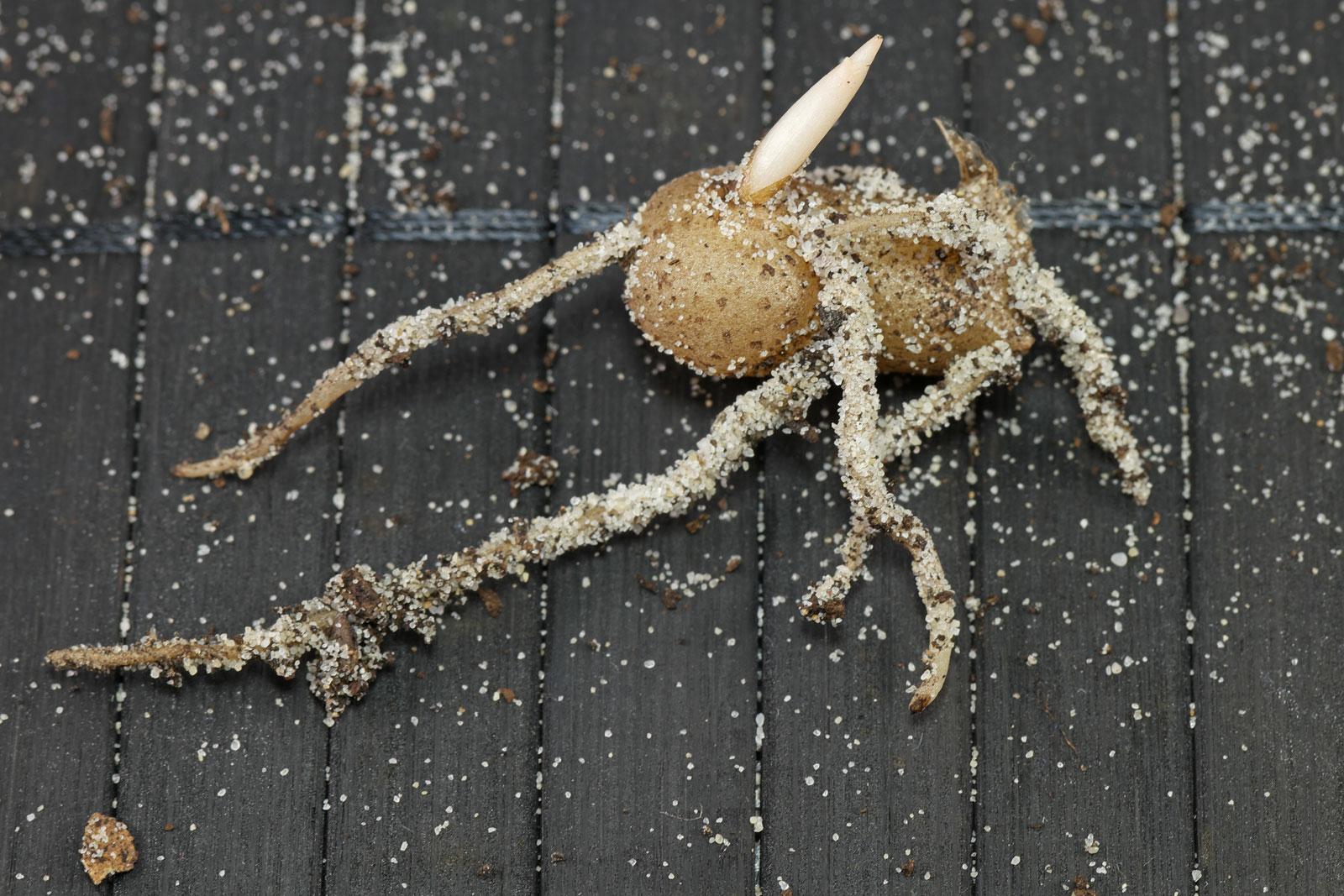 Zamioculcas rhizome