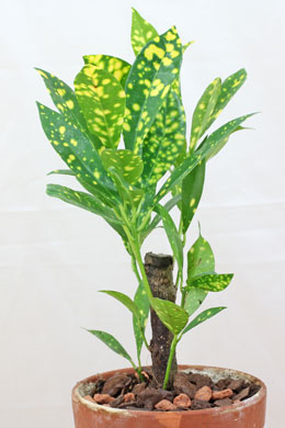 Croton-260