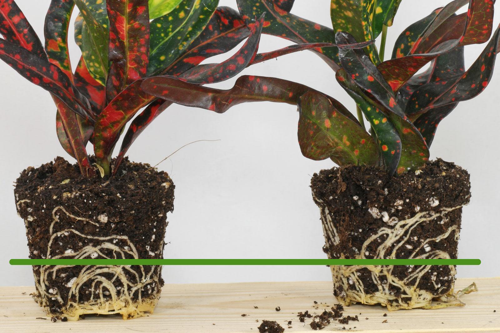 Croton roots