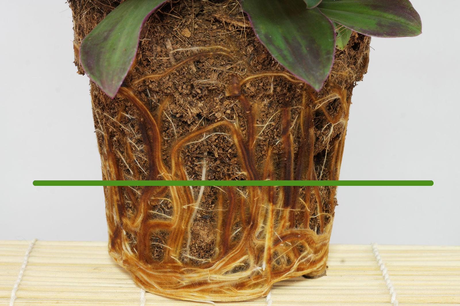 Tradescantia spathacea roots