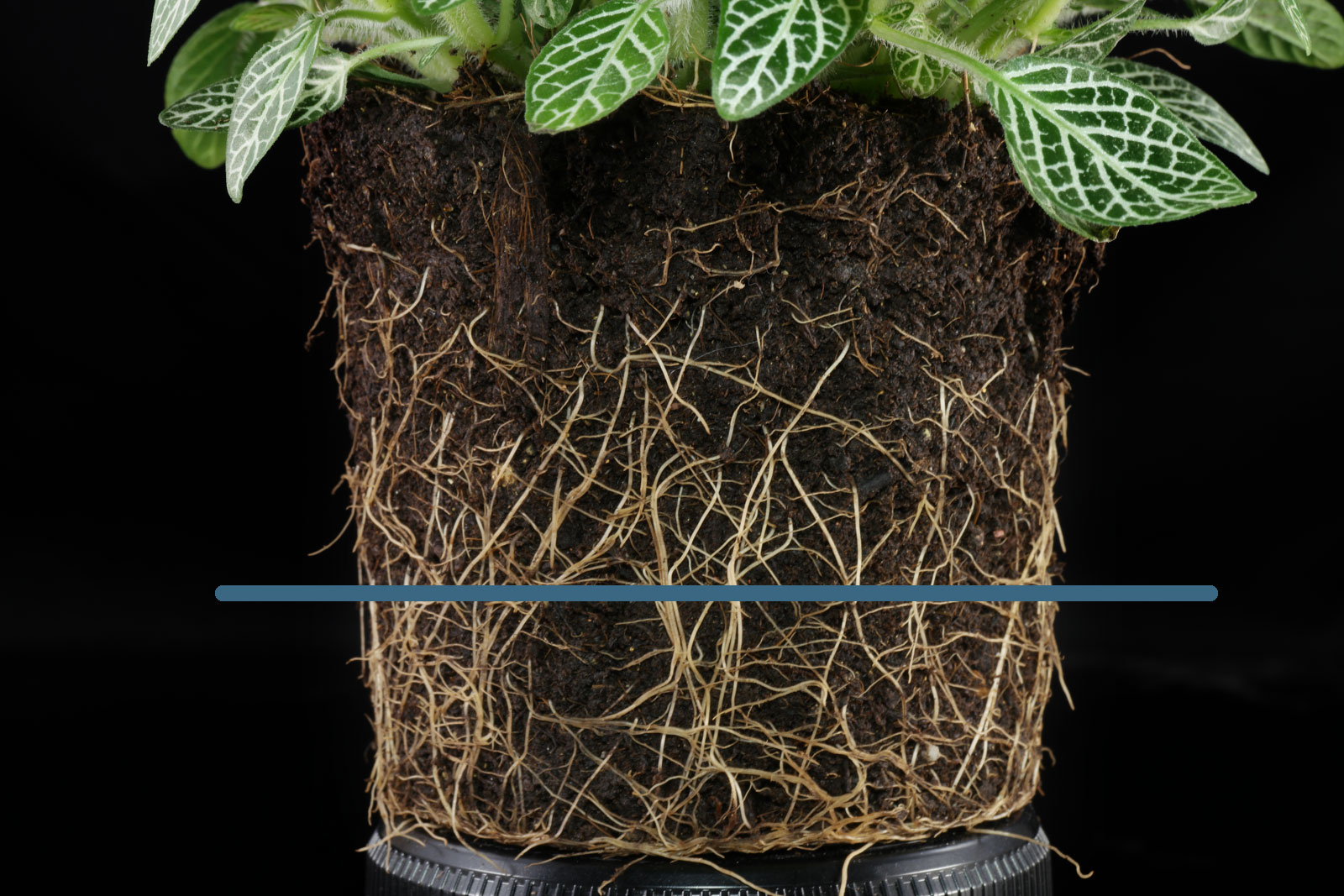 Fittonia roots