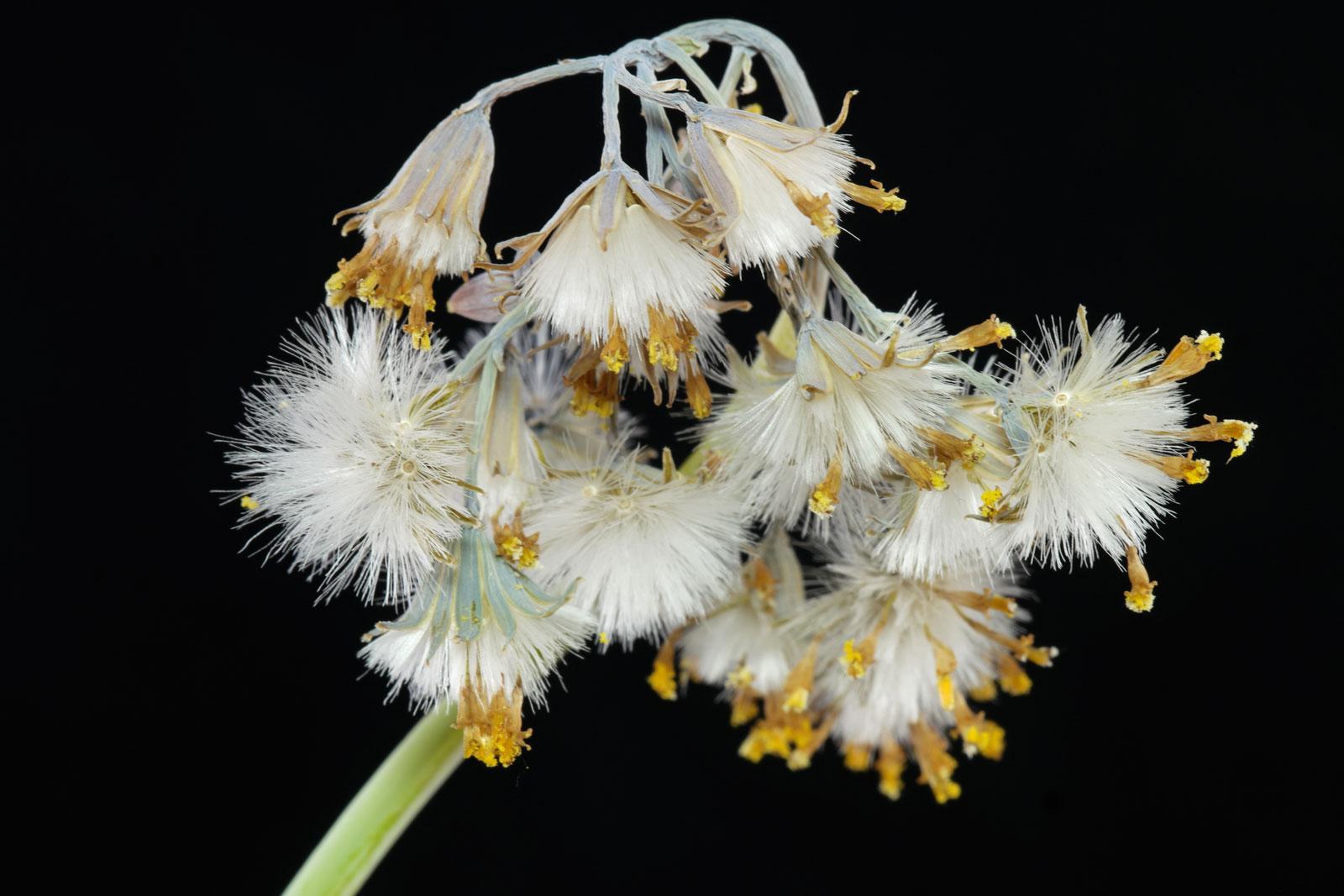 Senecio kleiniiformis seeds