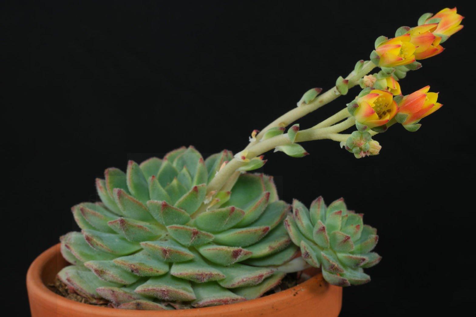 Echeveria derenbergii