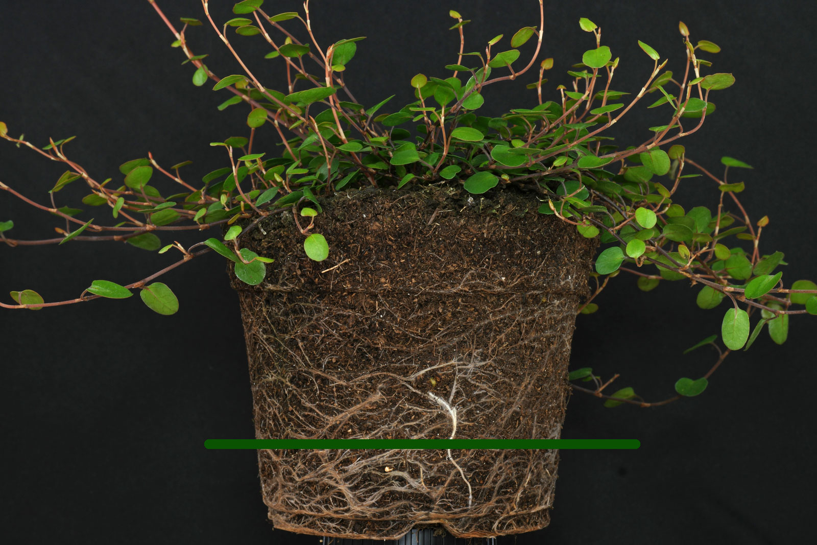 Muehlenbeckia roots