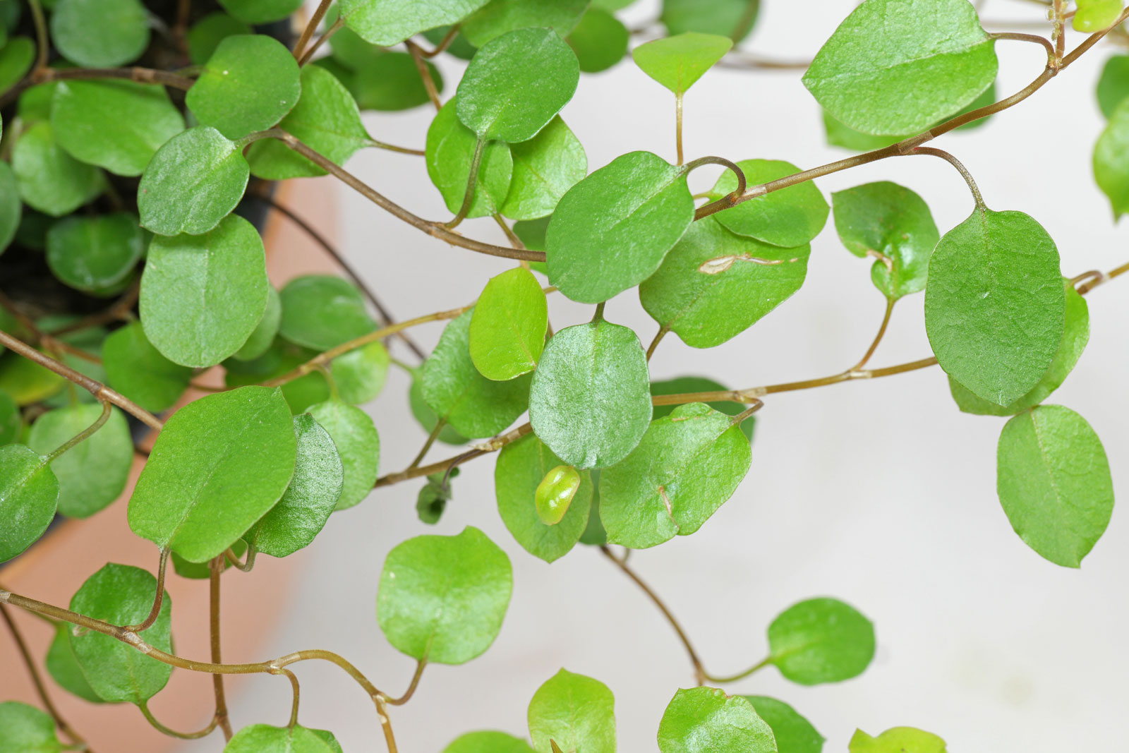 excellent long vine house plant. Maidenhair Vine  Wireplant Muehlenbeckia complexa