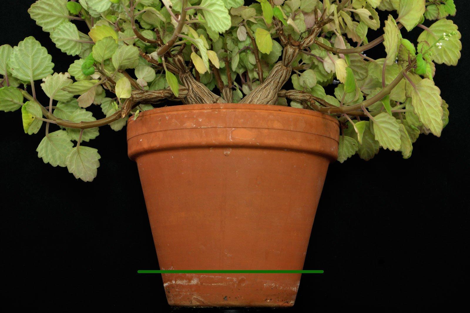 Plectranthus verticillatus in pot