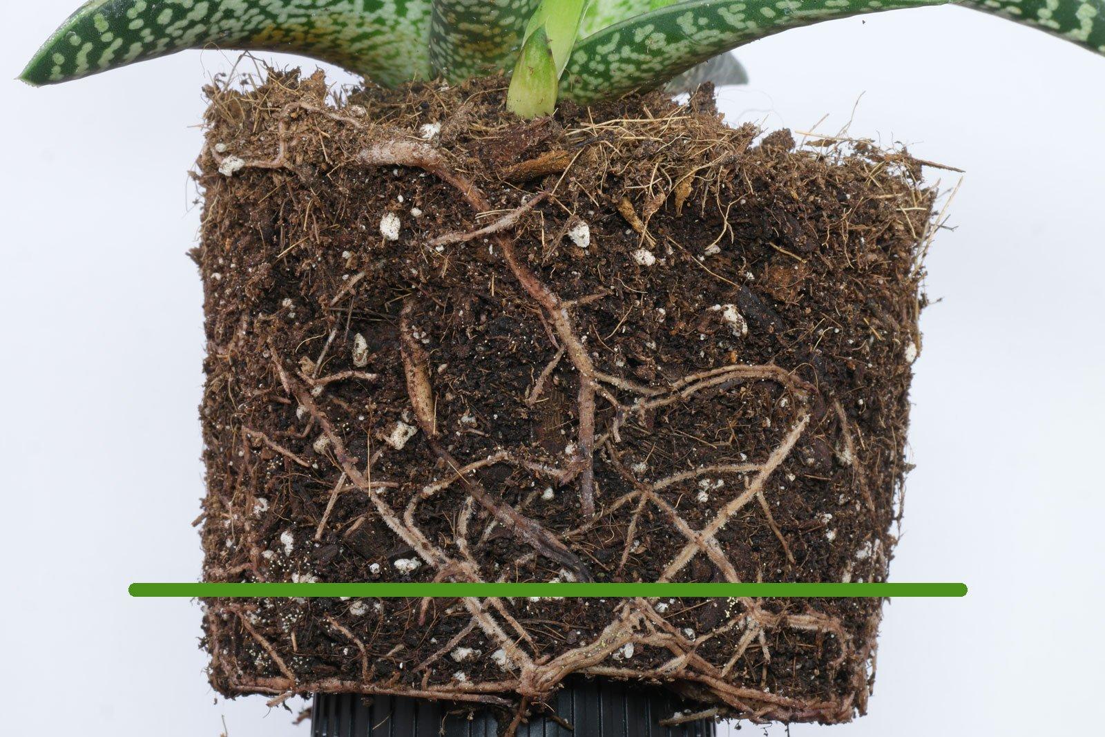 Aloe variegata roots