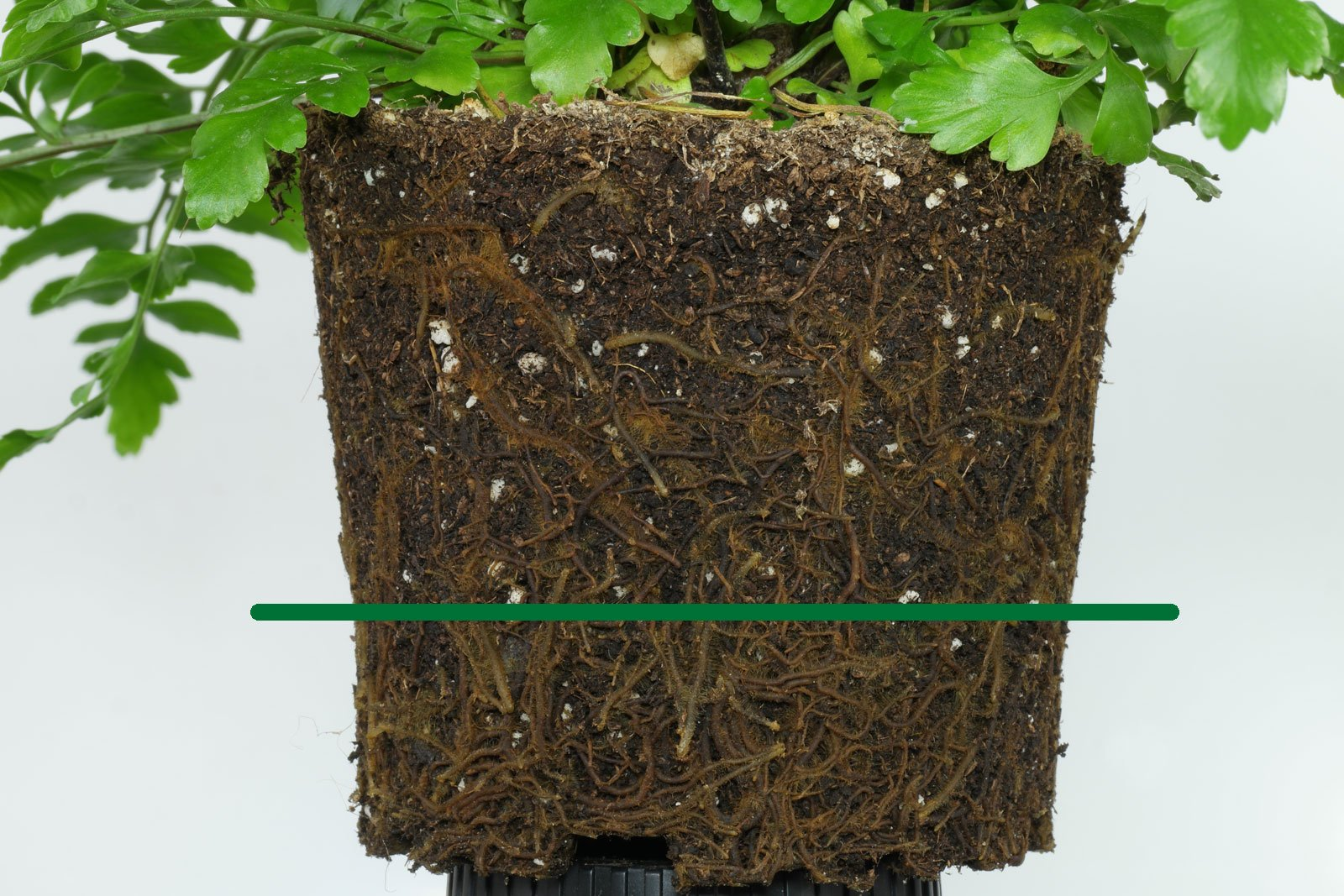 Asplenium dimorphum roots