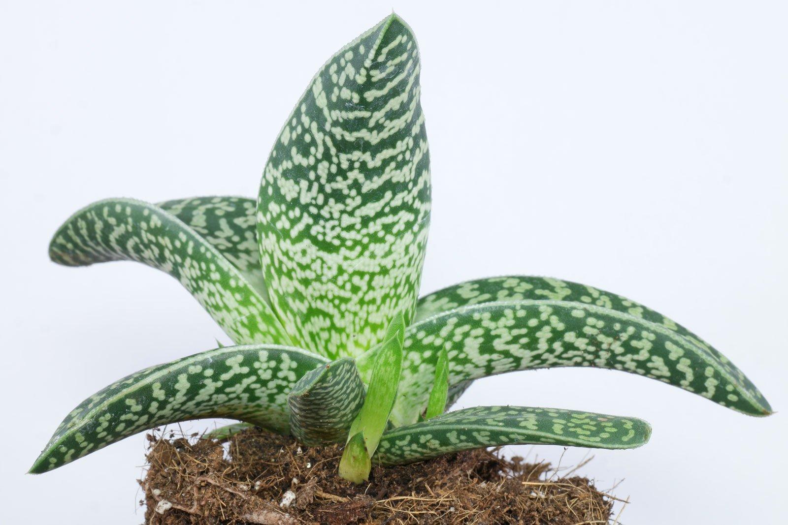 Gonialoe variegata