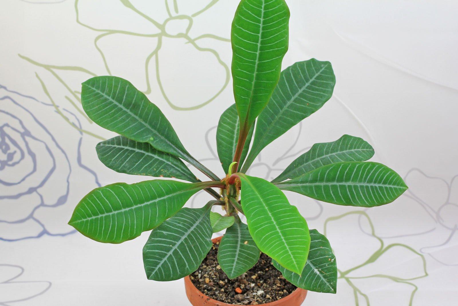 Madagascar Juwel Euphorbia Leuconeura