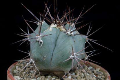 Echinocactus platyacanthus