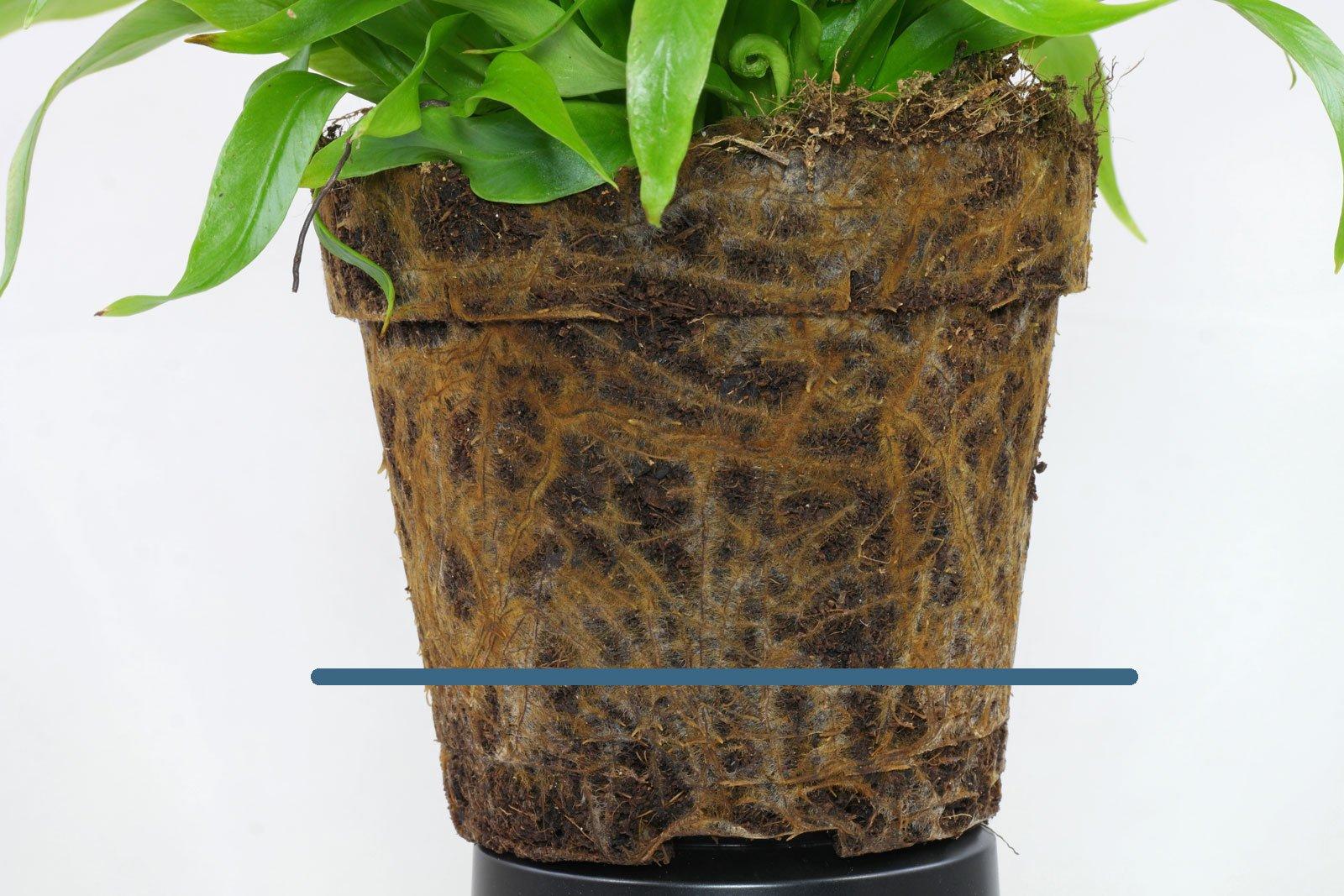 Asplenium antiquum roots