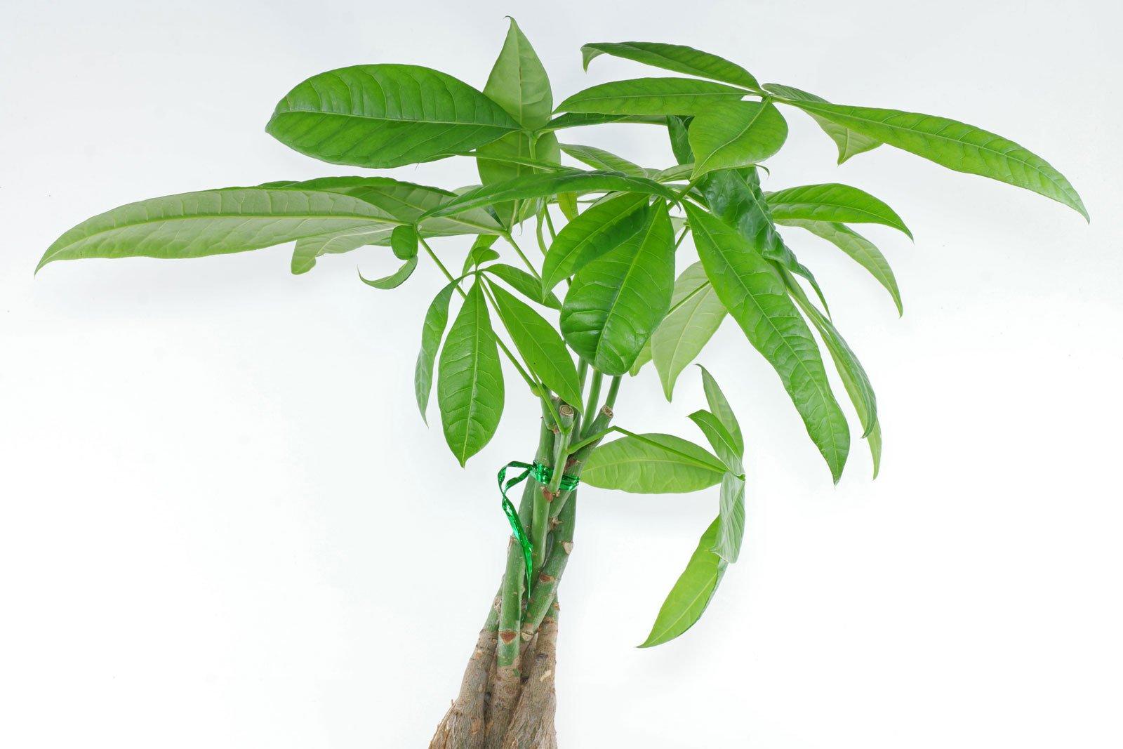 Money Tree braided