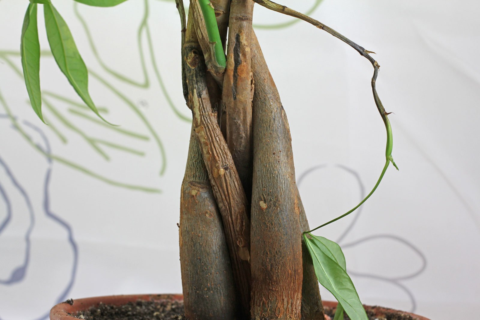 Pachira with dried up stem