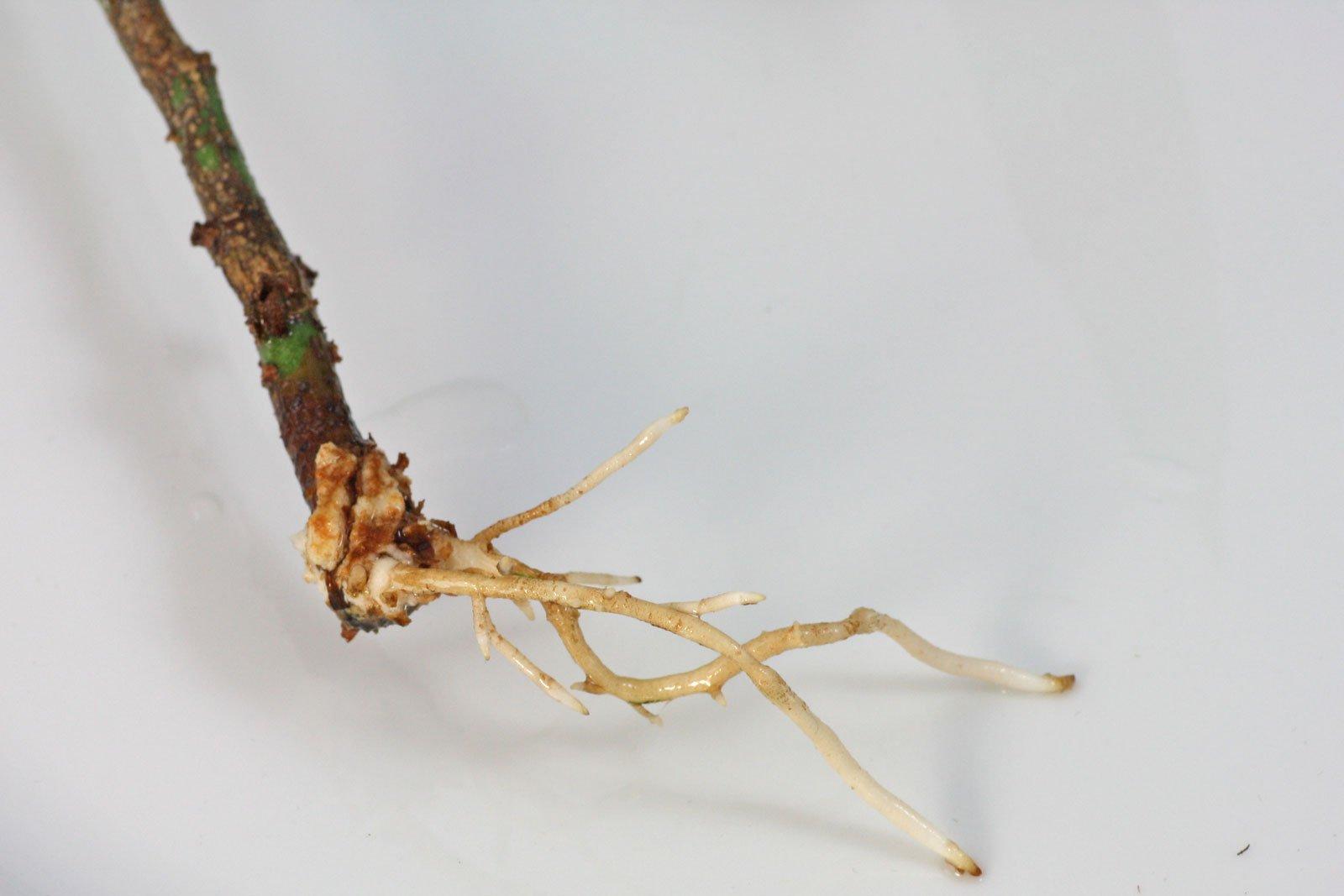 Pachira stem cutting roots