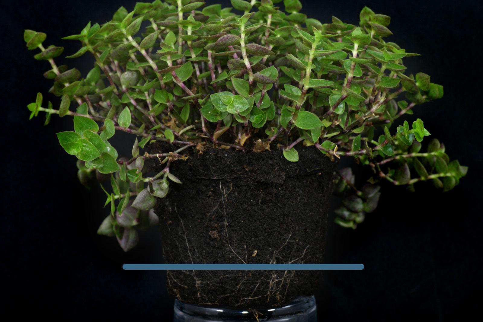 Callisia roots