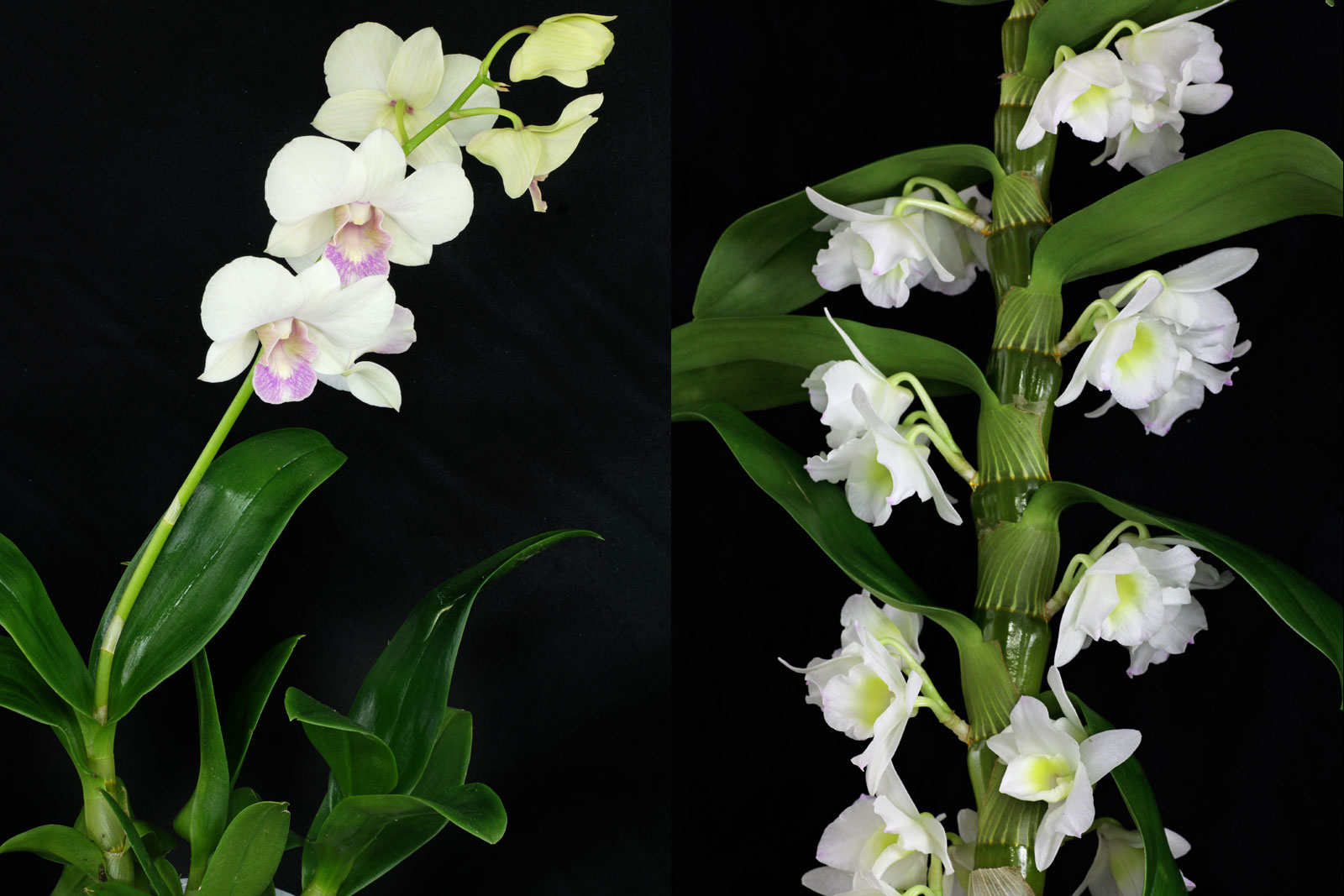 Dendrobium phalaenopsis and D. nobile