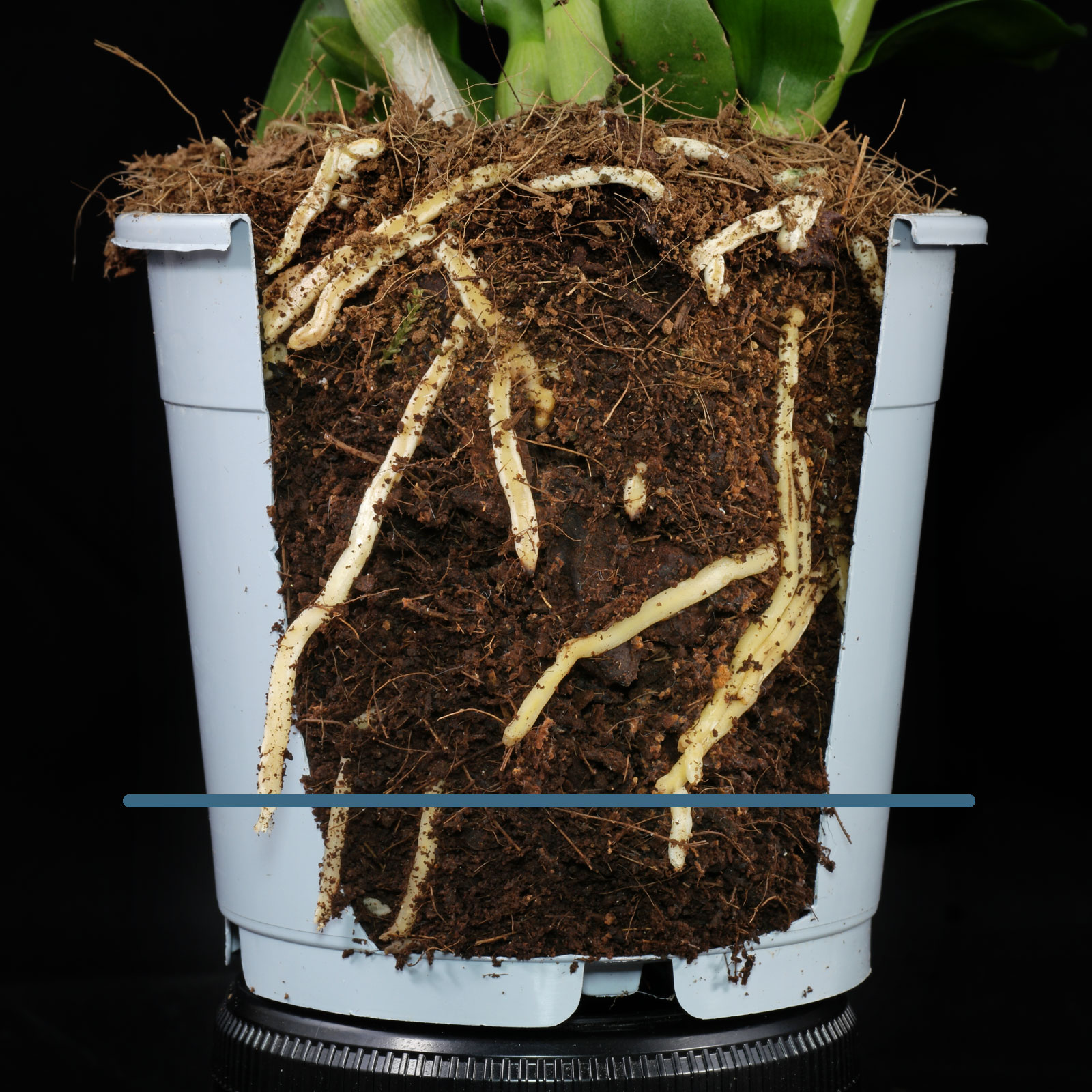 Dendrobium roots