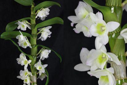 Dendrobium nobile cv.