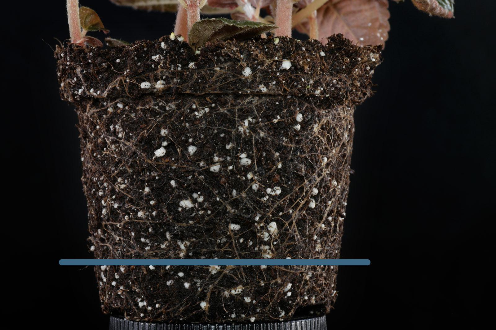 Pilea spruceana roots