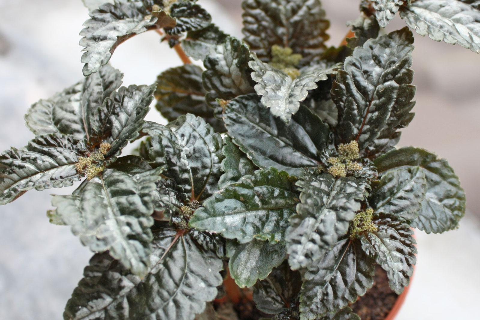 Pilea flowering