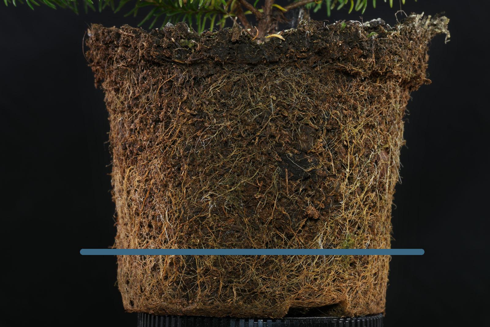 Erica ventricosa roots