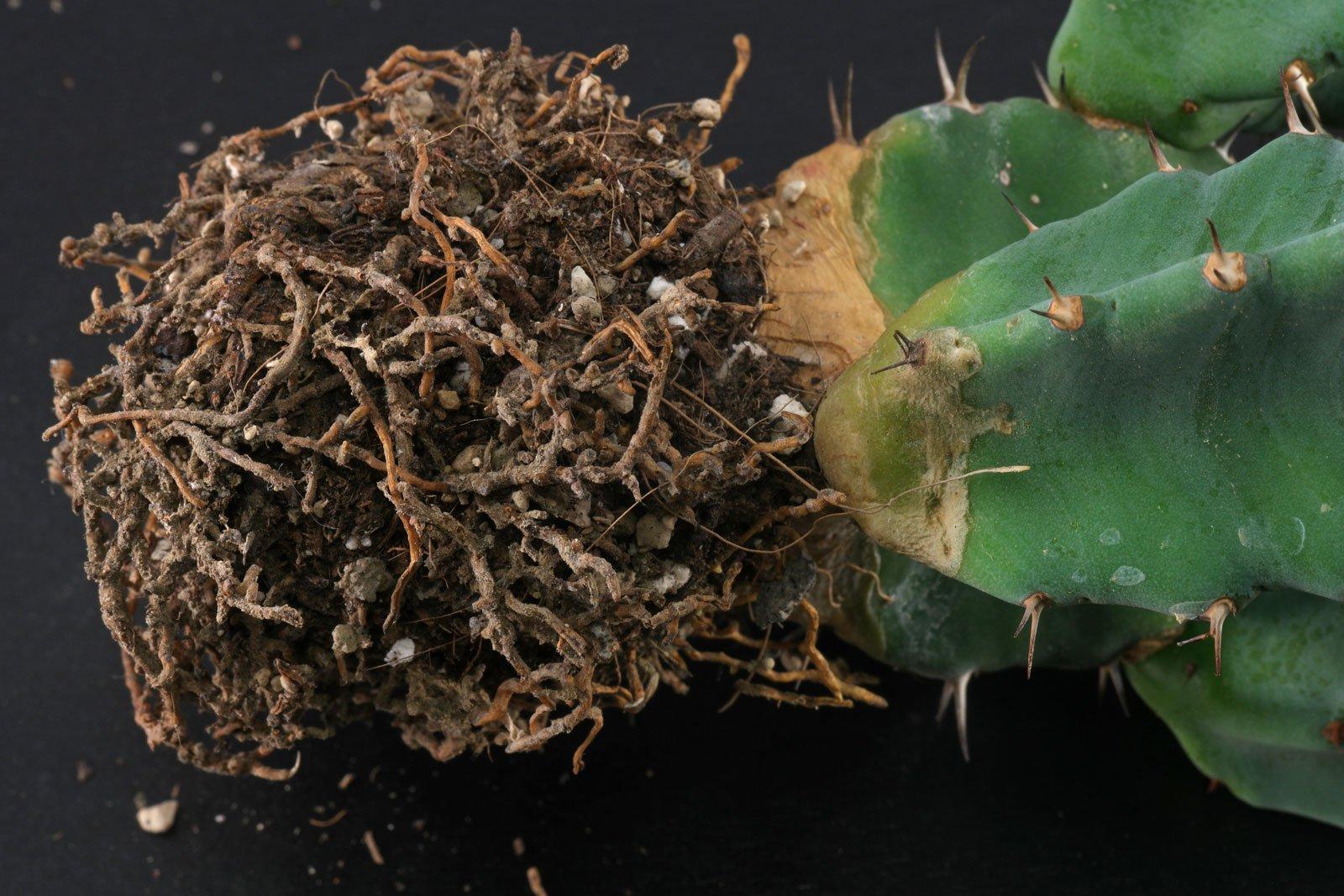 Euphorbia resinifera roots