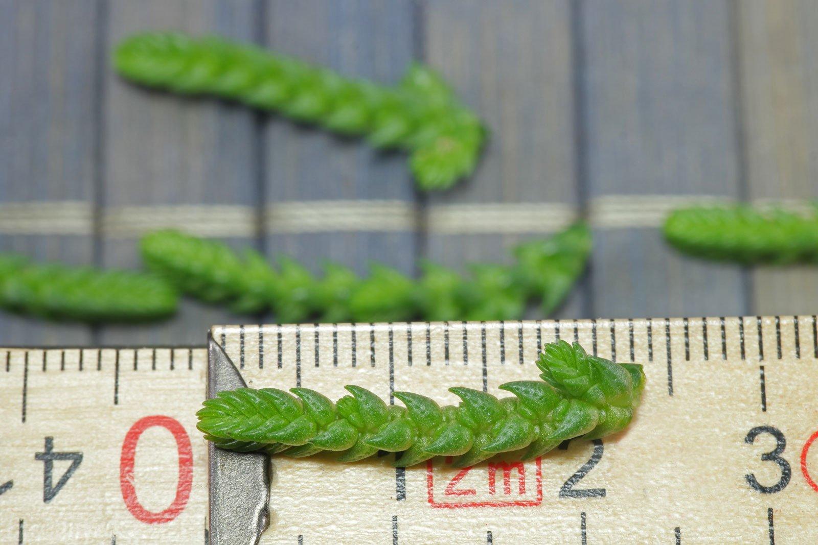 Crassula muscosa cuttings