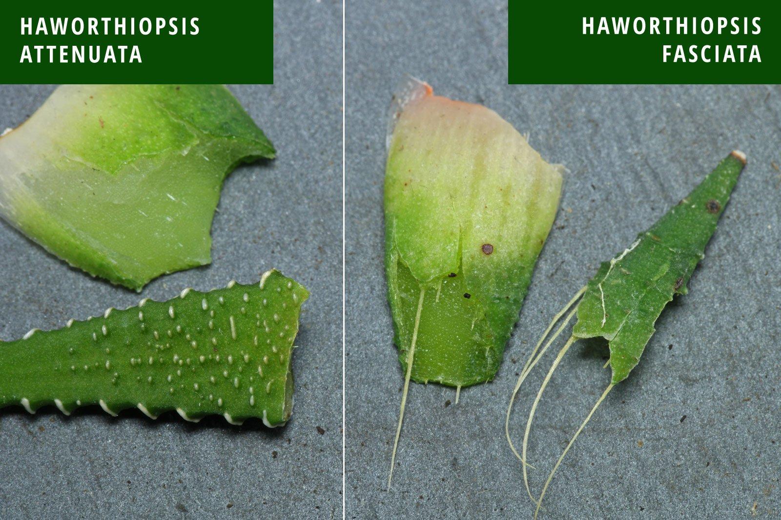 Haworthia attenuata fasciata