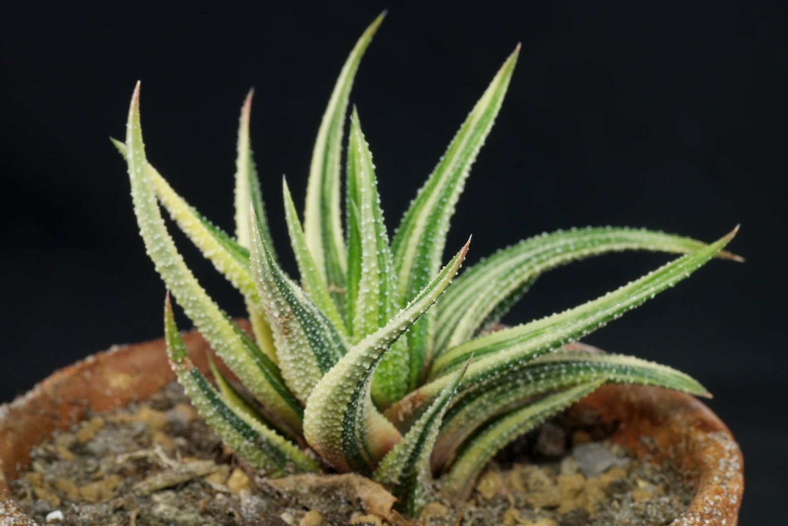 Zebra Haworthia Haworthiopsis Haworthia Attenuata And