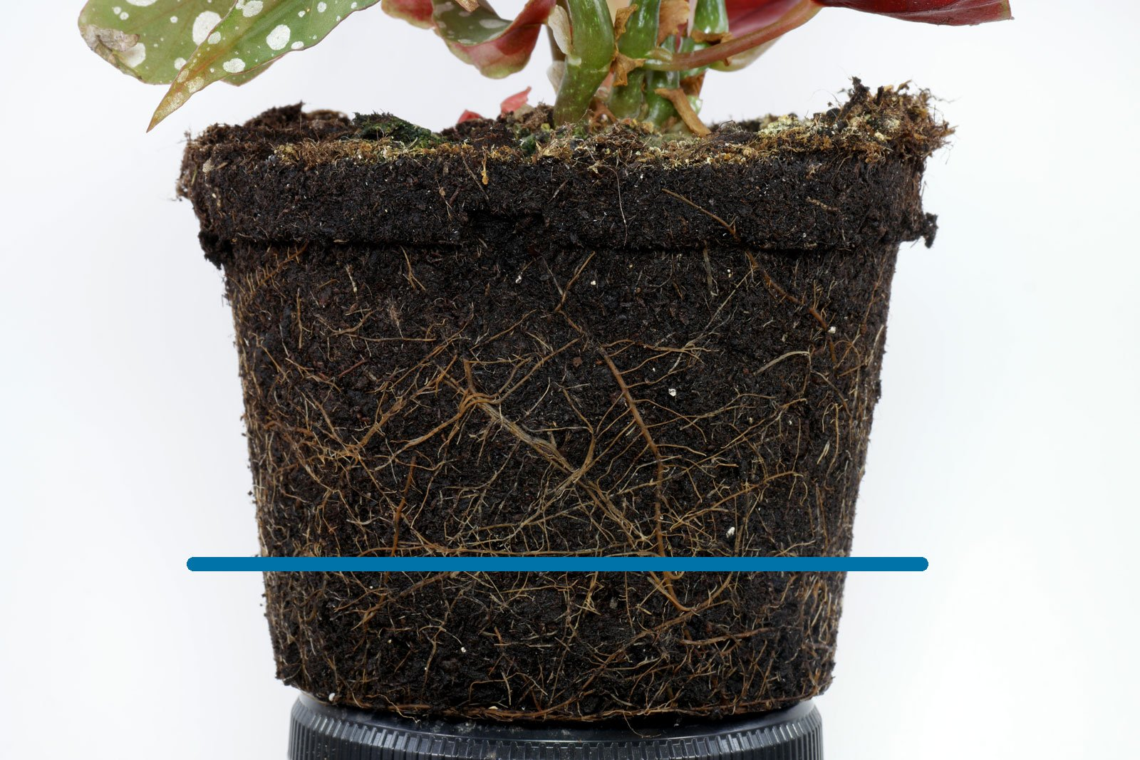 Begonia maculata roots