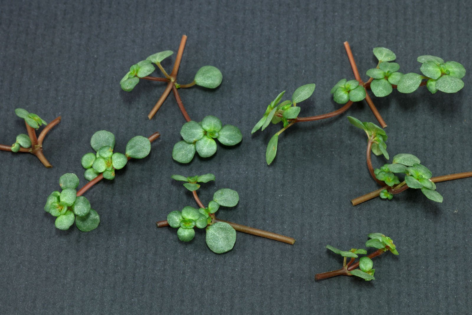 Pilea cuttings