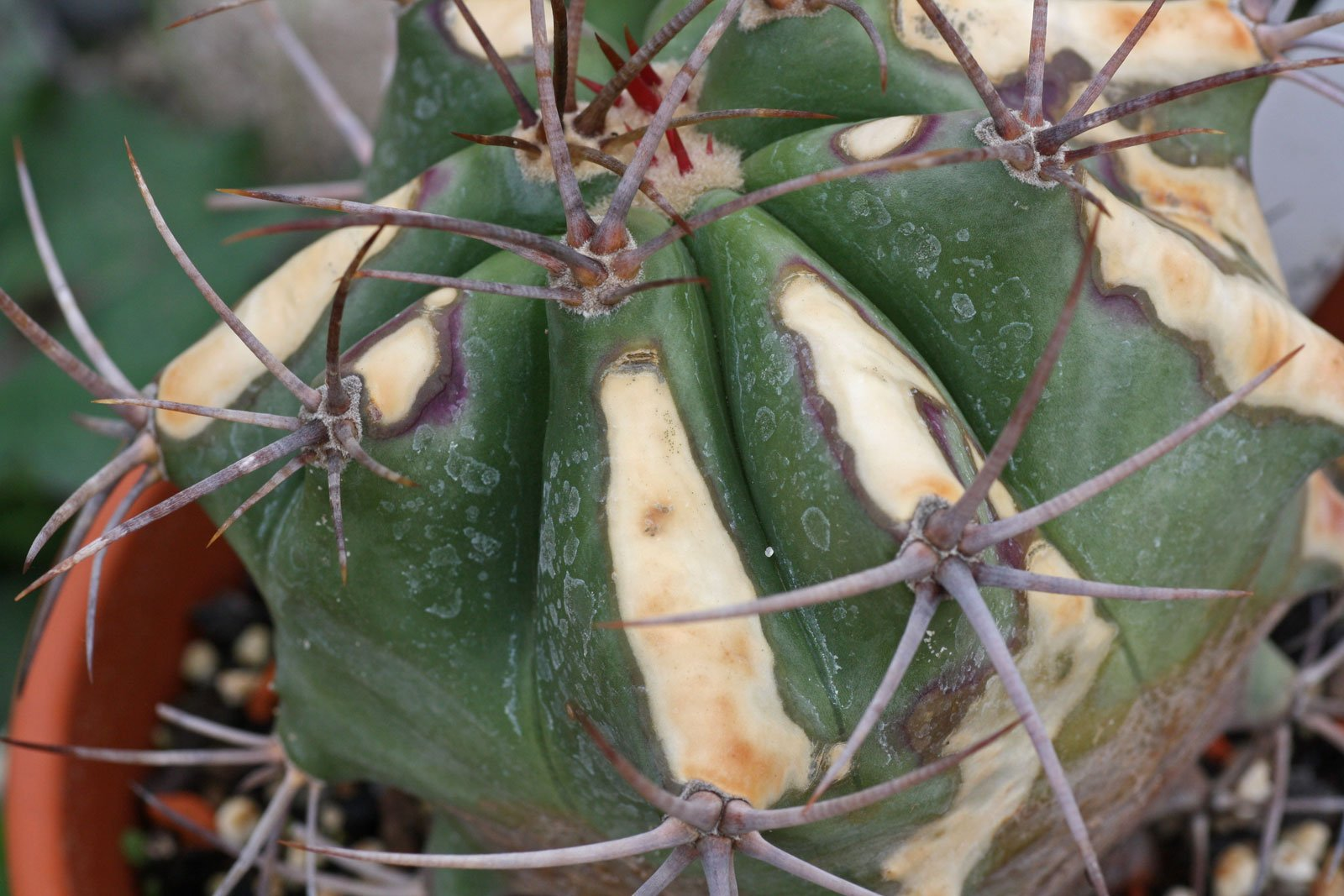 Barrel Cactus sunburn