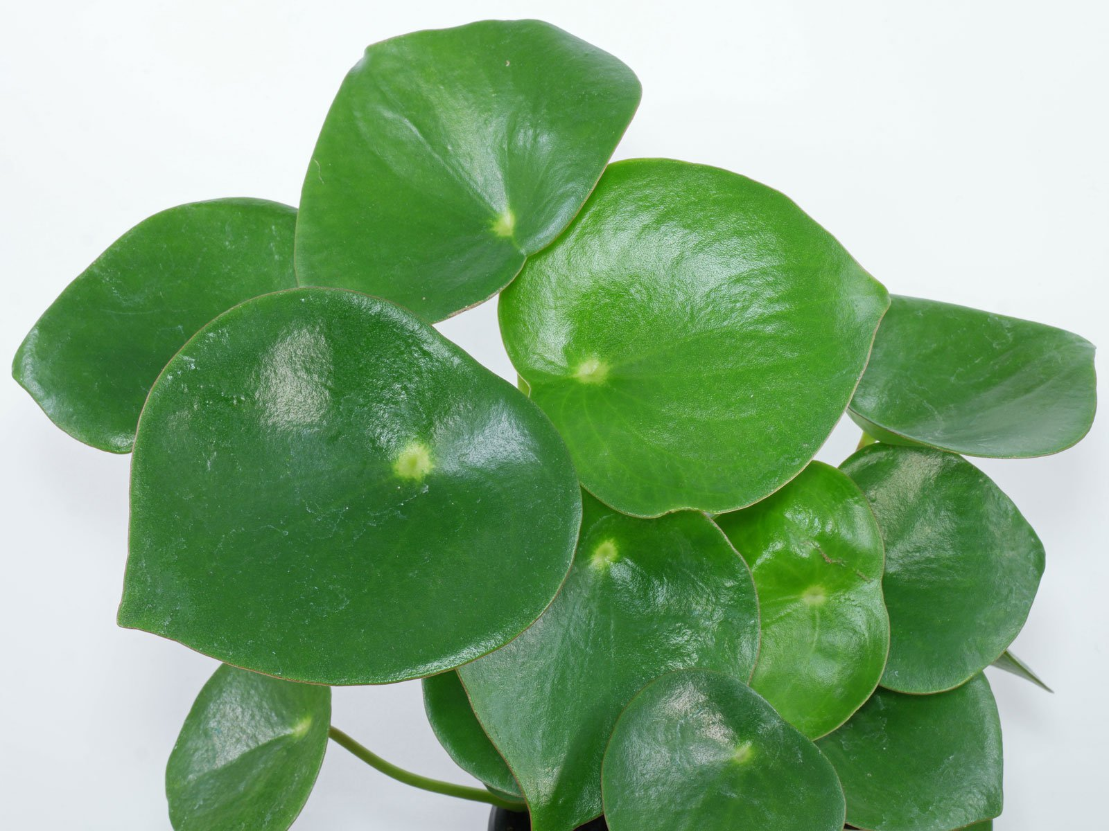 Coin Leaf Peperomia