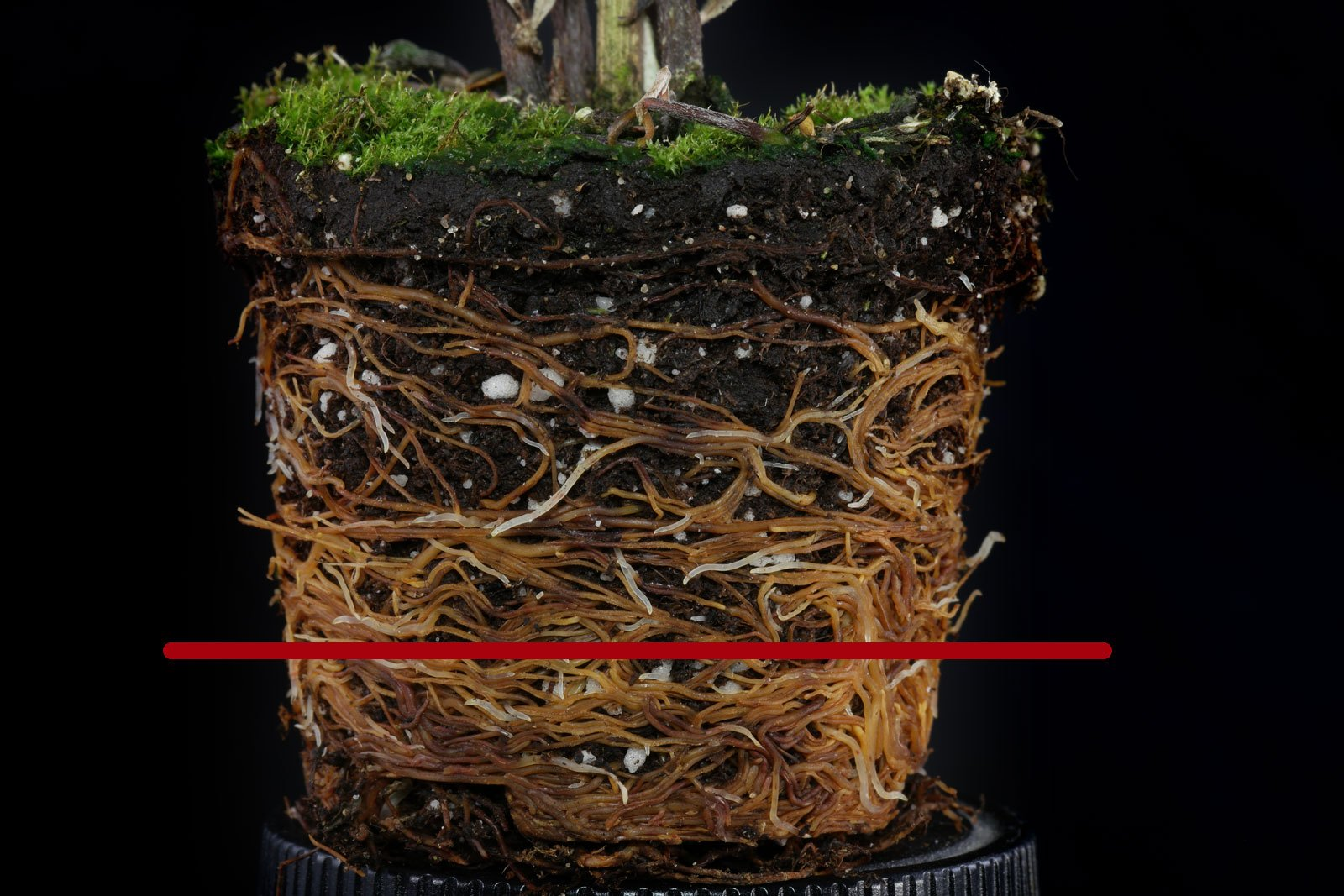 Wire Nettingbush roots